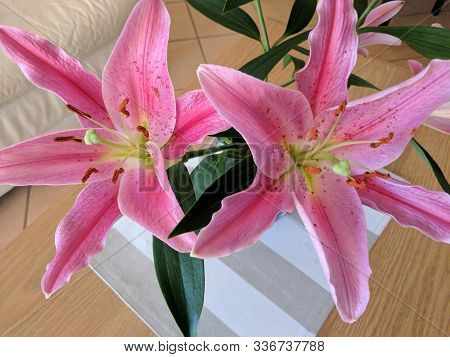 Beauty In Nature Image. Pretty Pink And White Stargazer Lily Flower Closeup In Full Bloom. Australia