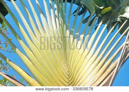 Traveler's Palm, Traveler's Tree.ravenala Madagascariensis Sonn.