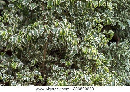 Adult Ficus Plant Starlight Closeup. Background, Soft Bokeh