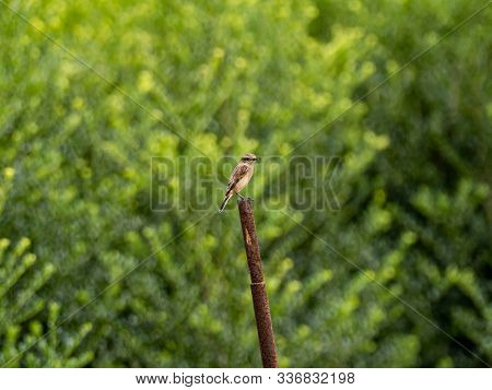 A Female Siberian Stonechat, Saxicola Maurus,perches On A Pole In A Rice Field Just Before Harvestin