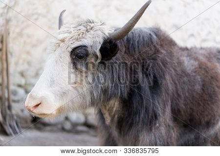 Pensive Yak With White-brown Horns.pensive Yak With White-brown Horns