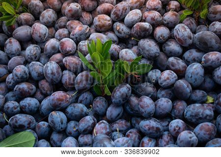 Ripe Blue Plum Fruits  Harvested In Fall As Nackground Texture