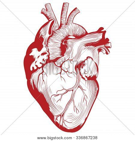 Anatomical Medical Illustration, Human Heart Organ Illustration
