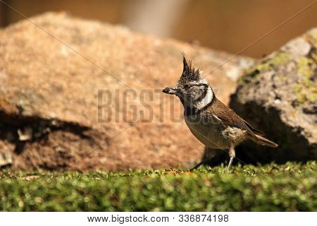 The European Crested Tit, Or Simply Crested Tit (lophophanes Cristatus) (formerly Parus Cristatus) W