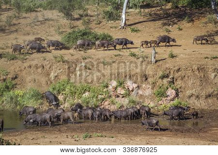 African Buffalo Herd In Riverbank Scenery In Kruger National Park, South Africa ; Specie Syncerus Ca