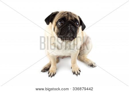 Cute Pug Dog Looking Innocent. Very Sad Dog Isolated On White