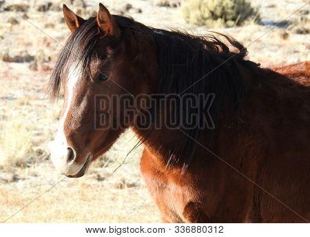 Wild Horse Enjoying A Sunny Day In The Sierra Nevada Foothills, California.