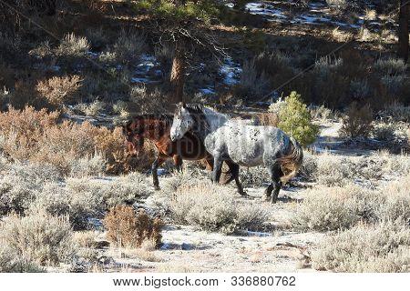 Wild Horses Playfully Enjoying Their Life On The Open Range In The Sierra Nevada Foothills, Californ