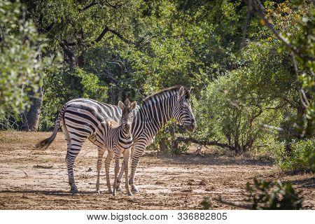 Plains Zebra Female And Young In Kruger National Park, South Africa ; Specie Equus Quagga Burchellii