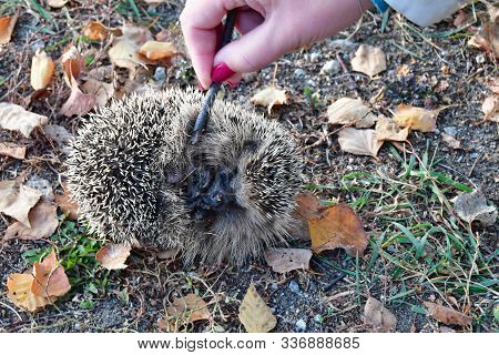 European Hedgehog (erinaceus Europaeus), Also Known Under The Name Of Hedgehog General. It Occurs In