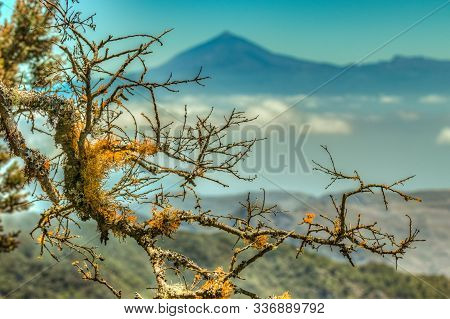 Close Up, Selective Focuse. Giant Laurels And Heather With Wet Lichen Branches. Island Of Tenerife A