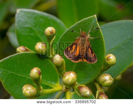 Macro Photography Of An Orange Spotted Skipper Moth On A Leaf, Captured Near The Colonial Town Of Ch