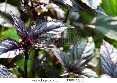 Leaves Of Purple Basil Growing In Garden. Spices For Summer Salad