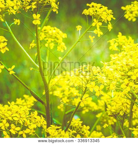 Yellow Rapeseed Flowers On Summer Sunny Day, Plant For Cooking Rapeseed Oil, Growing Plants In Rural