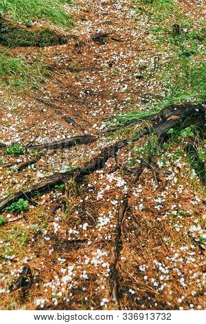 Hail Has Passed In Forest. White Hailstones Fall On Needles