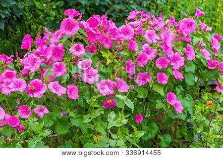 Pink Petunias On Flower Bed In Garden On Sunny Summer Day