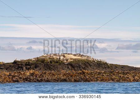 Birds In Farne Islands, Uk