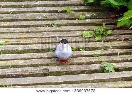 Tern On The Wooden Walkway In Farne Islands