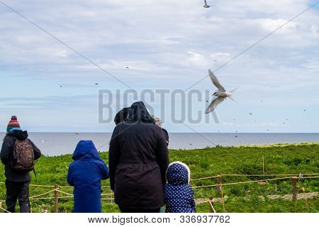 Farne Islands, Uk - May 27, 2019: Tourists Attacked By Terns In Farne Islands, As They Visit During