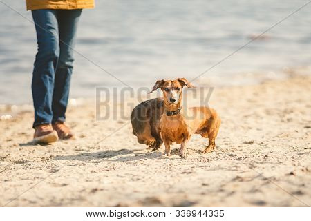 Two Dachshund Play On The Beach. Two Small Dogs Playing Together Outdoors. Dachshunds Two Dogs Of Th