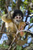 cute squirrel monkey (saimiri) on a tree poster
