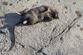killed the rat lying on the concrete floor poster