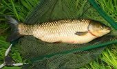 The White Amur or Grass Carp (Ctenopharyngodon idella) grow large and are strong fighters on a rod and reel, but because of their vegetarian habits and their wariness, they can be difficult to catch. poster