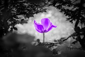 Purple Tulip Soul In Black White For Peace Heal Hope. The Flower Is Symbol For Power Of Life And Min