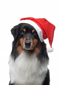 Christmas Dog. Pet In A New Year's Cap On A White Background. Funny Australian Shepherd