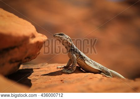 Lizard Sitting On The Orange Rock In A Sun | Close Up Photo Of A Lizard Basking In The Sun, Sun Bath
