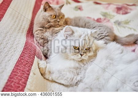 Two British Cats, Longhaired And Shorthaired, Are Sitting On The Bed