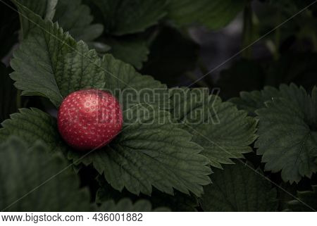 Bush Of Fresh Red Strawberry, Strawberry Fruits In Growth At Garden, Process Yield Organic Strawberr