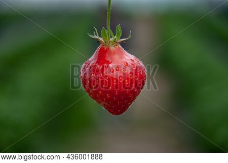 Fresh Ripe Organic Strawberry On The Branch, Garden Fruit Isolated, Copy Space, No Focus, Specifical