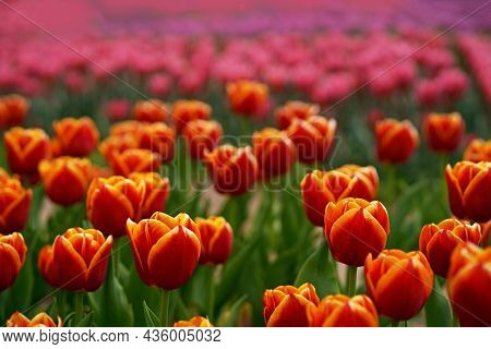Landscape With Tulip Field. Tulip Field In Spring. Mix Color Tulip Flower. Mix Of Tulips Flowers .