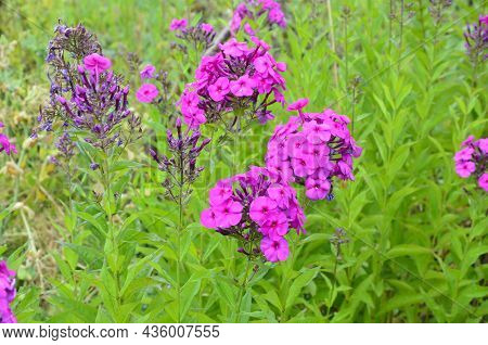 Phlox Paniculata (garden Phlox) In Bloom.phlox Paniculata, Fall Phlox, Garden Phlox Perennial Phlox