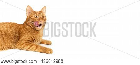 Cat On A White Background Isolated. Ginger Tabby Kitten Licking Its Lips. Banner Of Sales Creative C