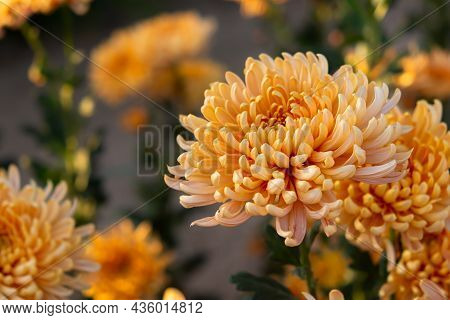 Orange Pastel Chrysanthemums. Autumn Delicate Flowers Close-up On A Flower Bed. There Are Beautiful