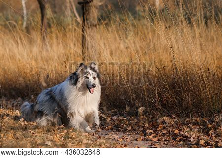 Marble Rough Collie Runs On Yellow Autumn Grass In The Park