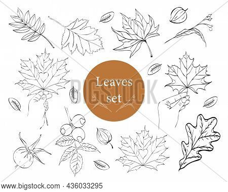 Large Vector Set Of Leaves. Collection Of Maple Leaves. Elements For Autumn Decorative Design. Leaf