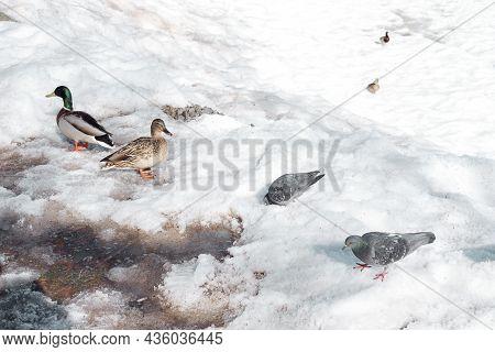 Ducks Walk In The Park In Winter. Birds Wintering In Russia. Ducks Walking In The Snow