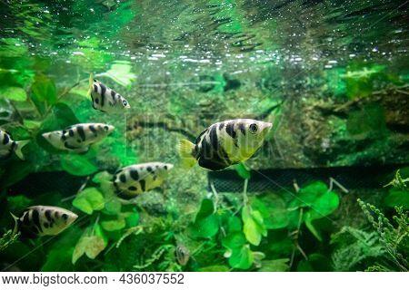 Close Up Of Archer Fish In Aquarium