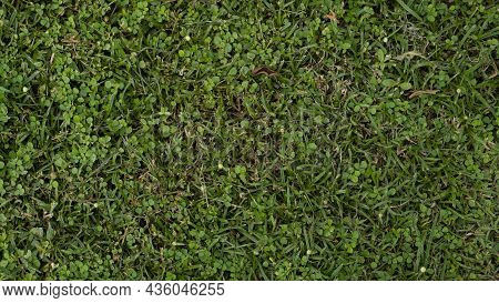 Background And Textured Above View Of Nature Green Grass. Two Types Of Herbaceous Plants Mixed Toget