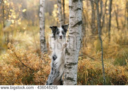 The Dog Put Its Paws On The Tree. Autumn Mood. Border Collie In Leaf Fall In The Forest
