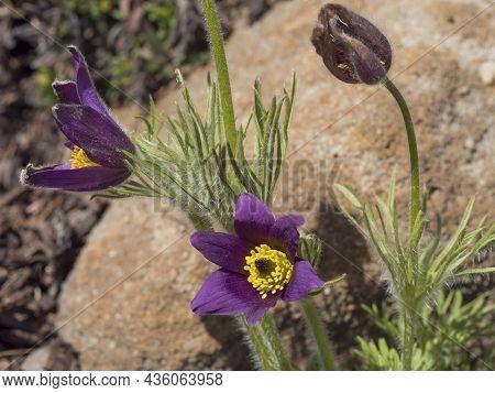 Beatiful Close Up Pulsatilla Pratensis, Pasque Flower On Rock Garden. Violet Flowers Of Prairie Croc