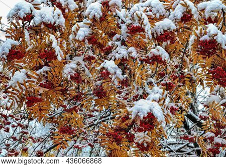 First Snow On Colorful Fall Foliage And Red Berries Of Rowan Tree Branches After Snowfall. Seasonal