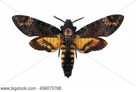 Death's-head Hawkmoth Isolated On A White. Acherontia Atropos. Large Rare Moth.