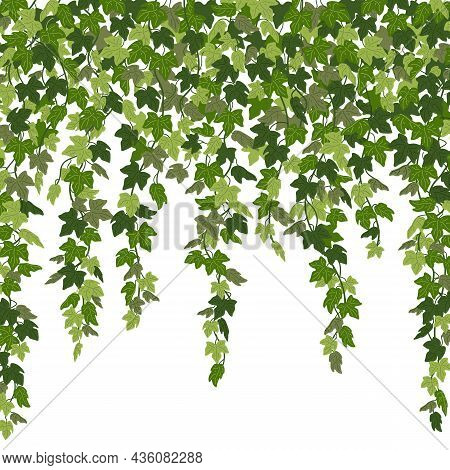 Ivy Curtain, Green Creeper Vines Isolated On White Background. Vector Illustration In Flat Cartoon S