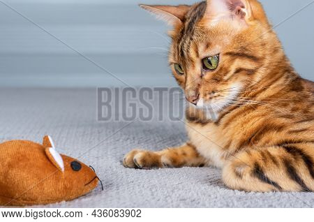A Domestic Bengal Cat Gazes Intently At A Toy Brown Mouse.