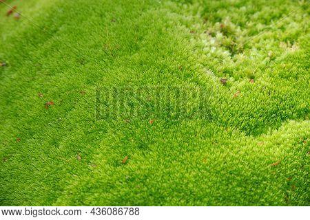 Close Up Green Moss Texture, Background. Moss Green Texture.