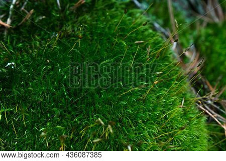 Green Moss Macro Shot. Close-up Of Green Moss In The Forest On A Summer Morning .beautiful Backgroun